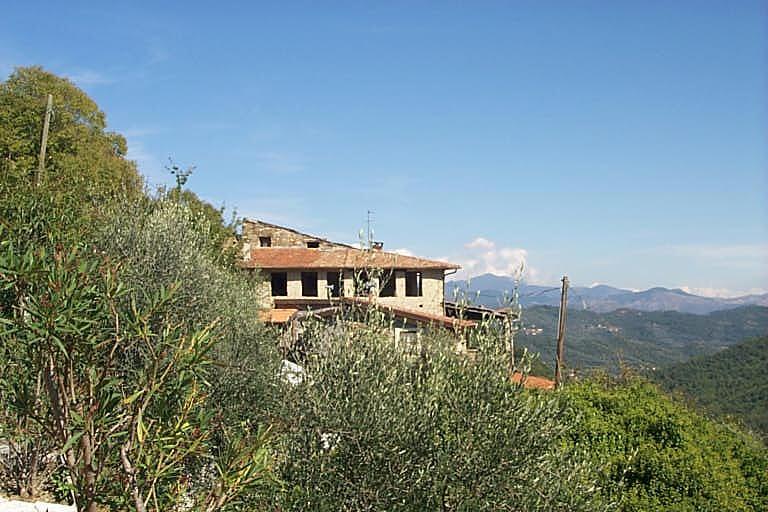 Ligurische Olivenbäume